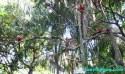 Ir a Foto: Papagayos en del Amazonas - Brasil - Brazil.  Go to Photo: Parots in the Amazon - Brasil - Brazil.