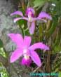 Ampliar Foto: Orquidea en la selva amazonica brasileña - Brasil - Brazil.