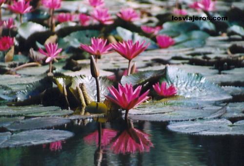 Lotus in Laos Lotus in Laos