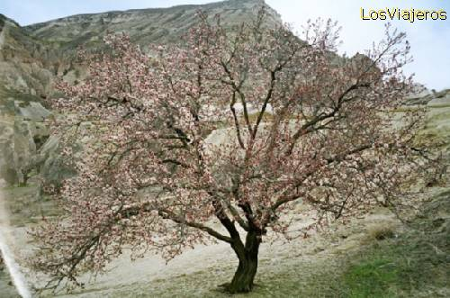 Almond tree in blossom-Cappadocia-Turkey Almendro en flor-Capadocia-Turquía - Turquia